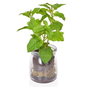 Mint In Glass Vase Jar