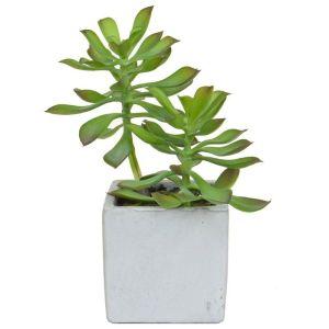 Succulent Green In Pot 20