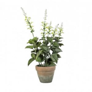 Potted Salvia White