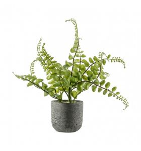 Potted Royal Fern