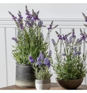 Lavender in Charcoal Grey Pot